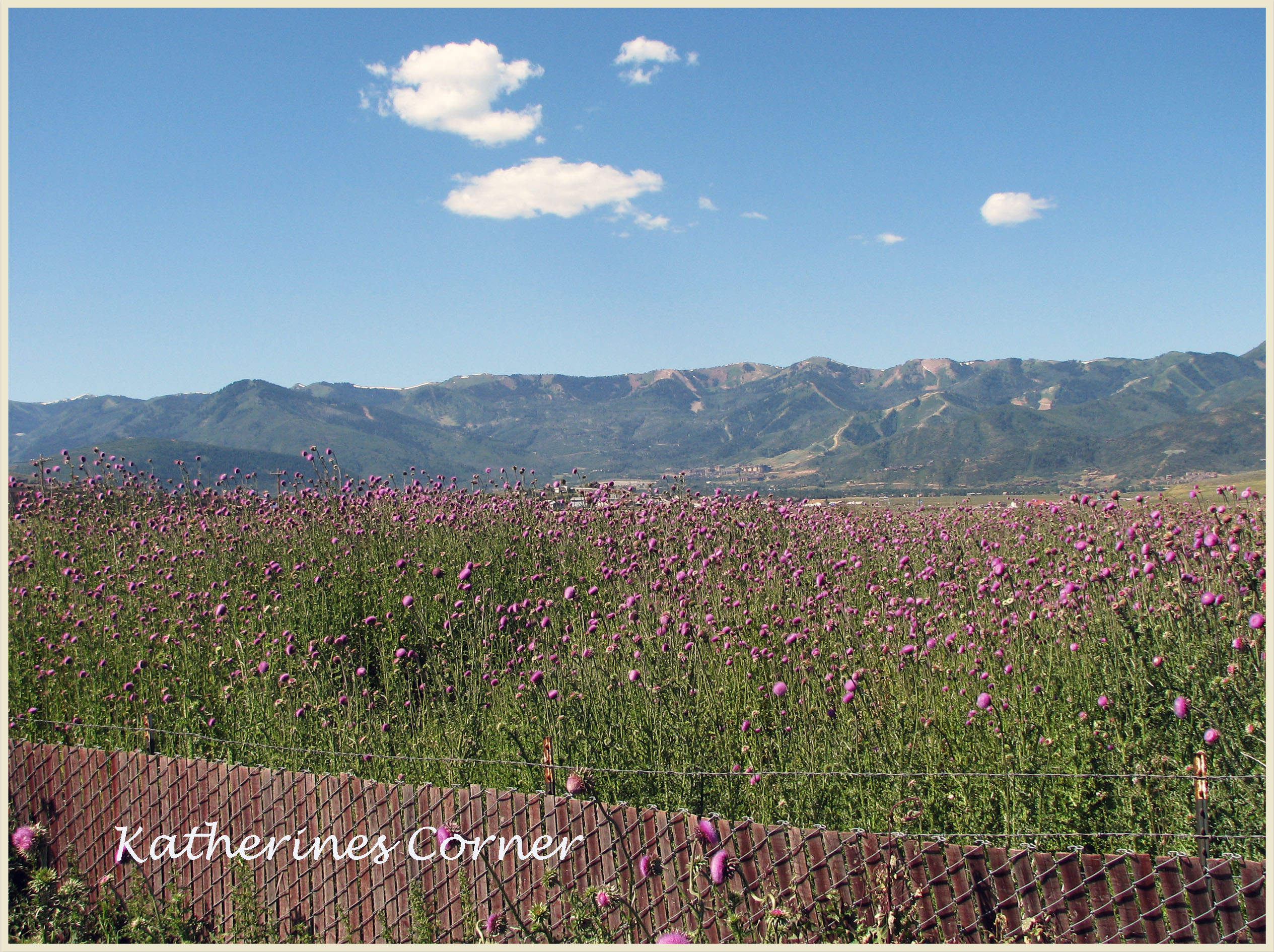 Wordless Wednesday Thistle Field