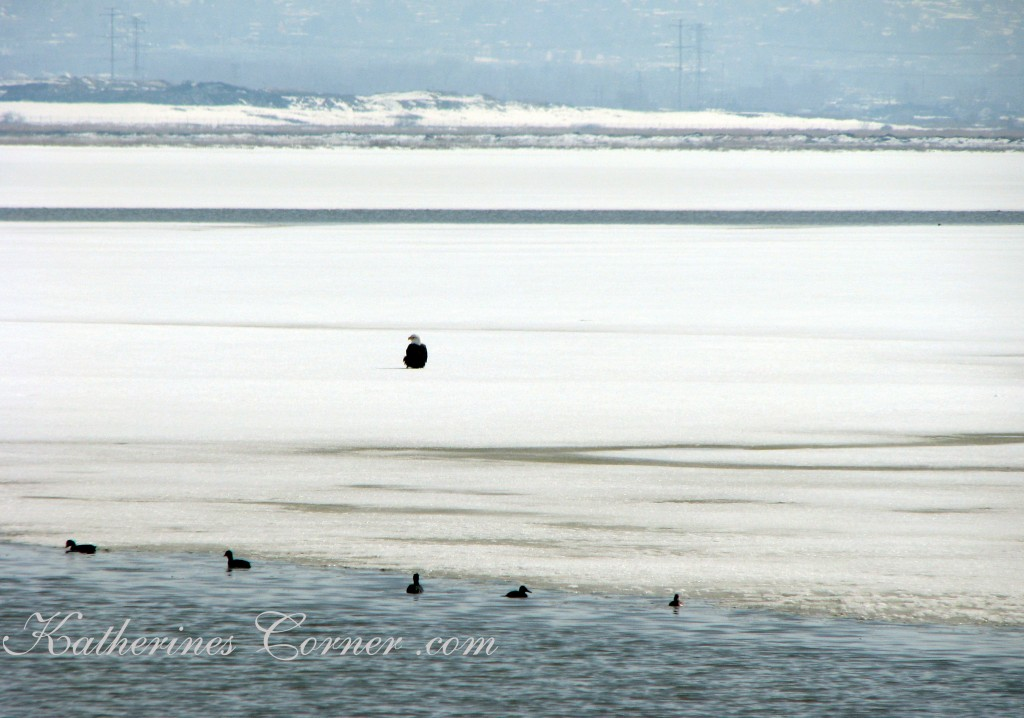 bald eagle on ice katherines corner