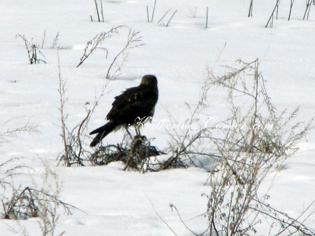 hawk in snow 1 katherines corner