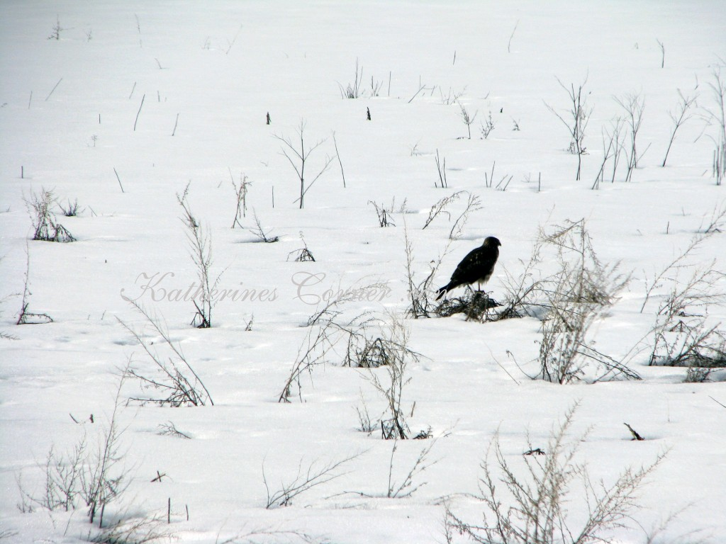 hawk in snow 2 katherines corner