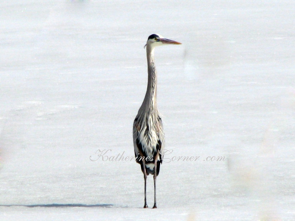 heron in snow Utah Katherines Corner
