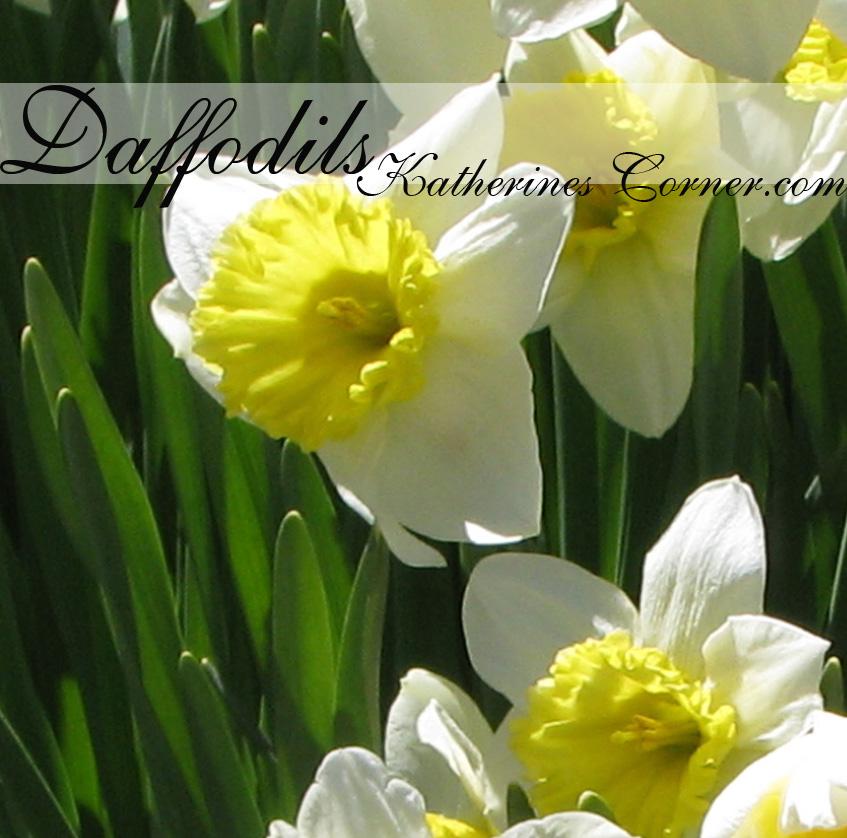 daffodils 1 katherines corner