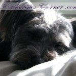 sleeping schapso dog in the sun photograph