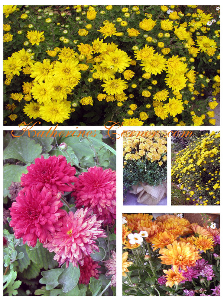 Chrysanthemum collage