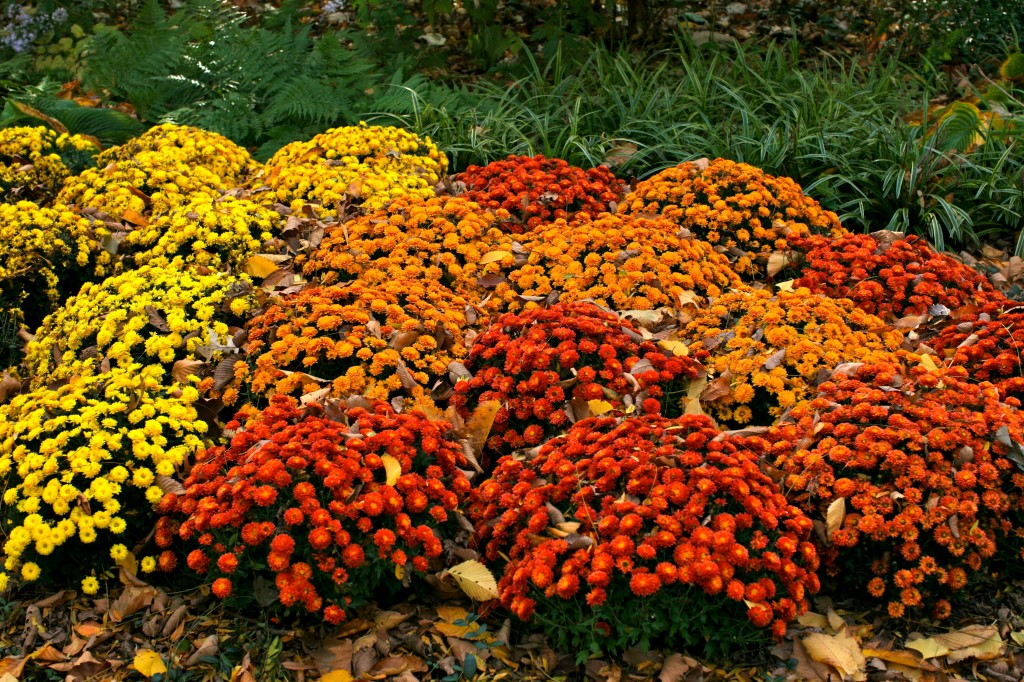 chrysanthemums in central park in central park