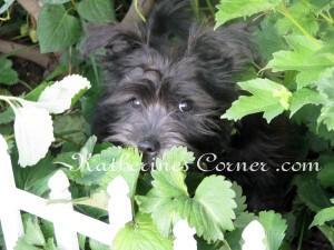 puppy in strawberries