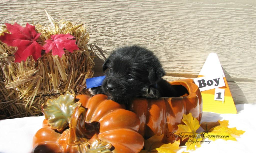 puppies and pumpkins 1