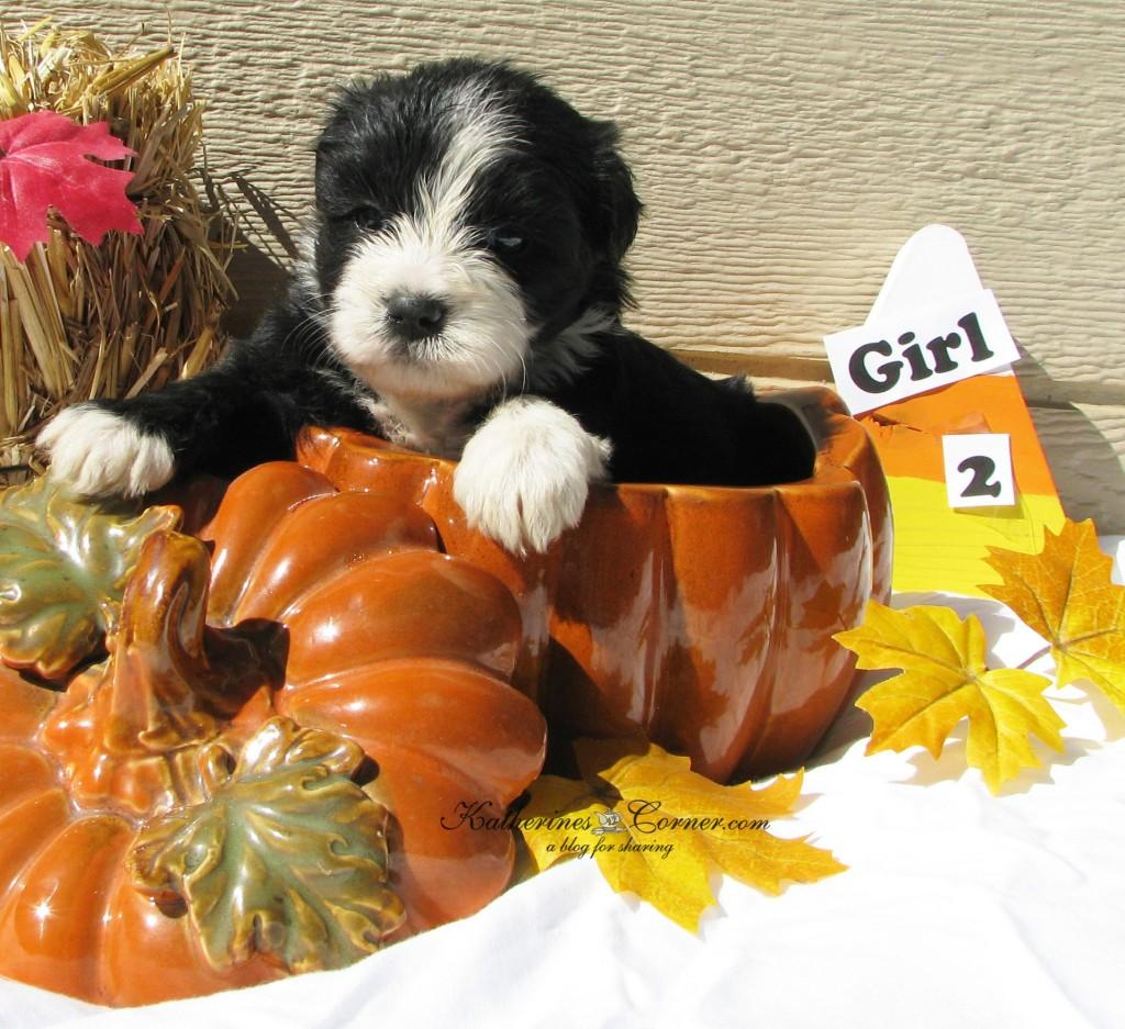 puppies and pumpkins