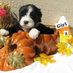 puppies and pumpkins