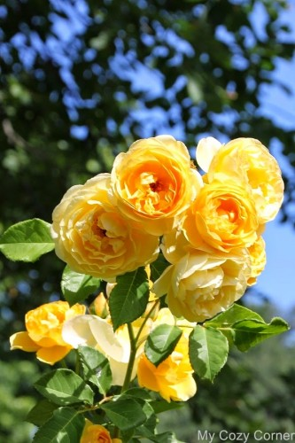 april garden yellow roses