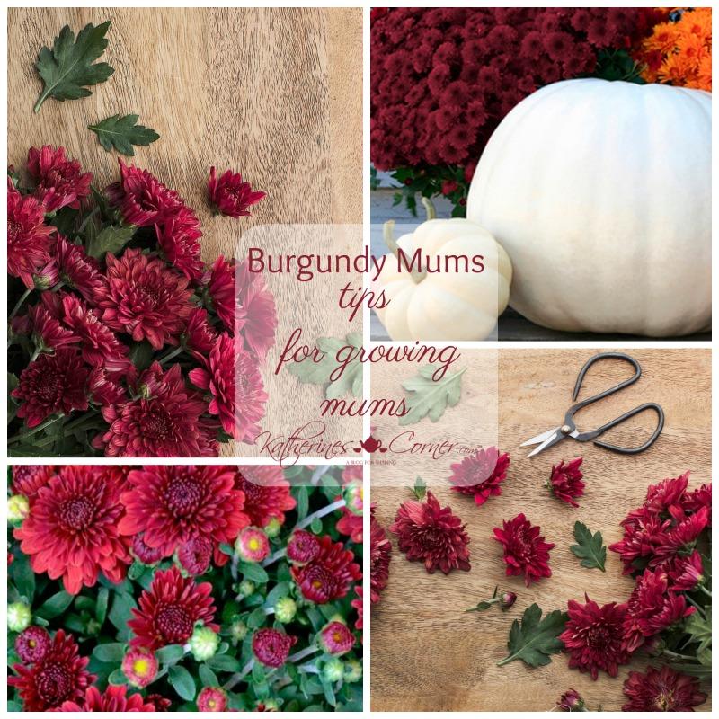 Burgundy Mums