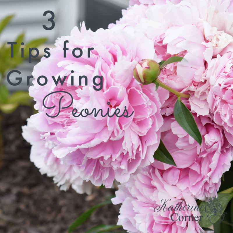 3 Tips for Growing Peonies